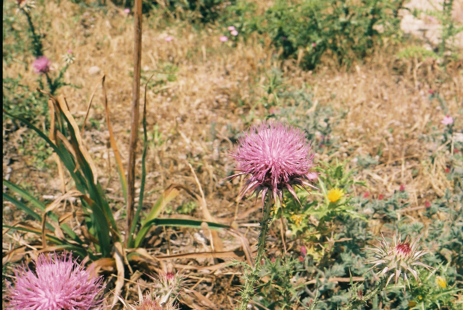 north cyprus, visit cyprus, go north cyprus, bicycle touring apocalypse, travel, travel blog, explore, adventure, adventure cycling, cyclist, plants, plant photography, expedition, jack macgowan, 35mm, canon, canon ae-1, film is not dead, film photography blog, bicycle touring apocalypse