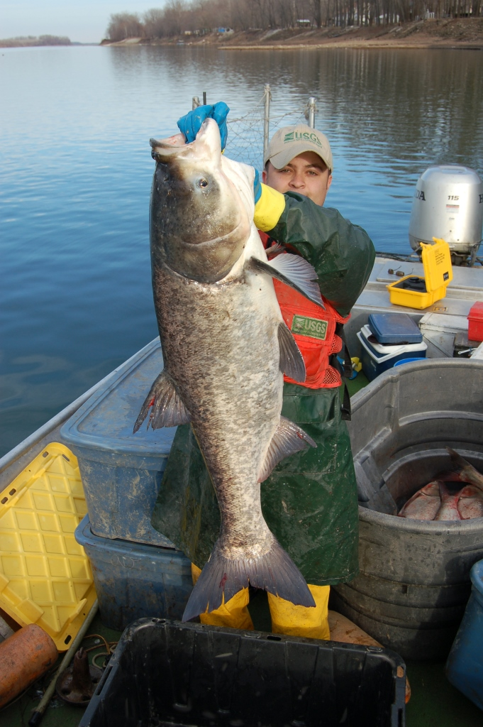 A bighead carp on the Mississippi. Photo credit: USGS