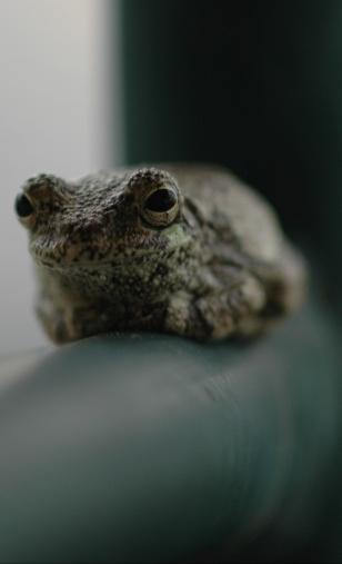 Gray tree frog  Credit: StingrayPhil