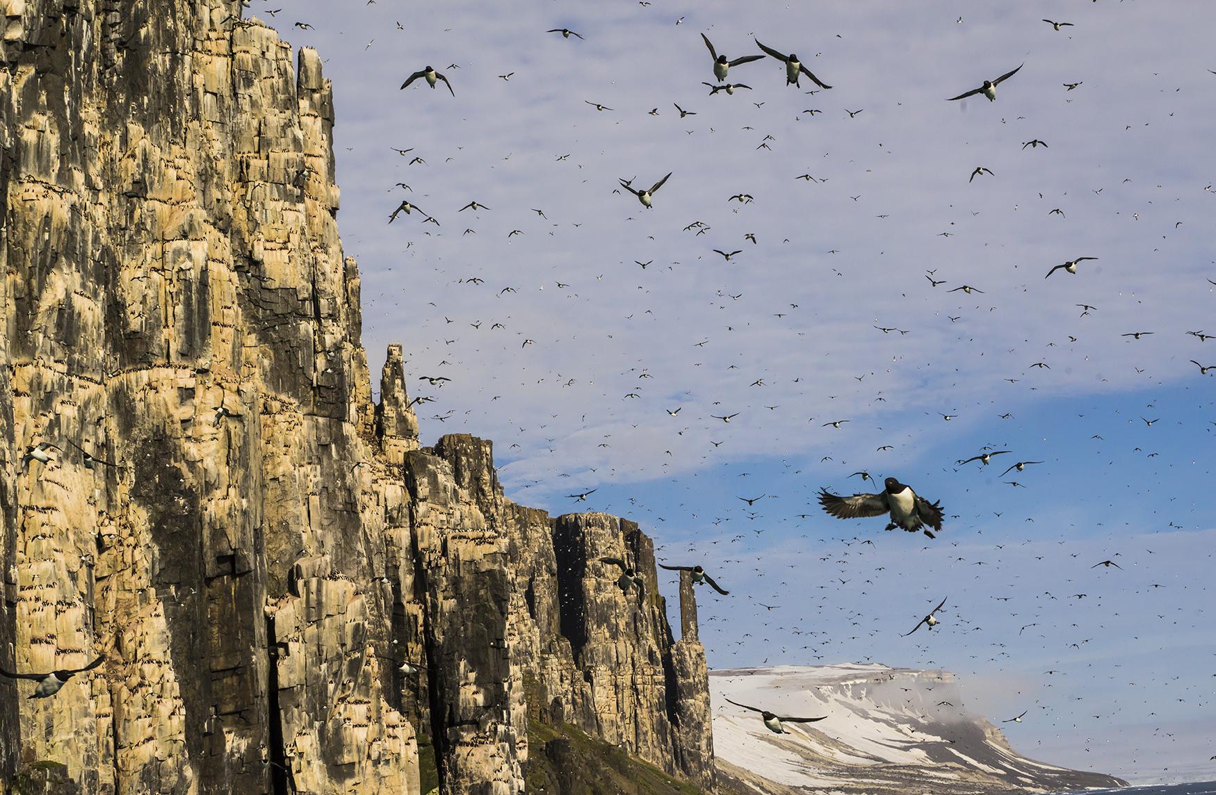 Arctic Birds Svalbard -North Pole