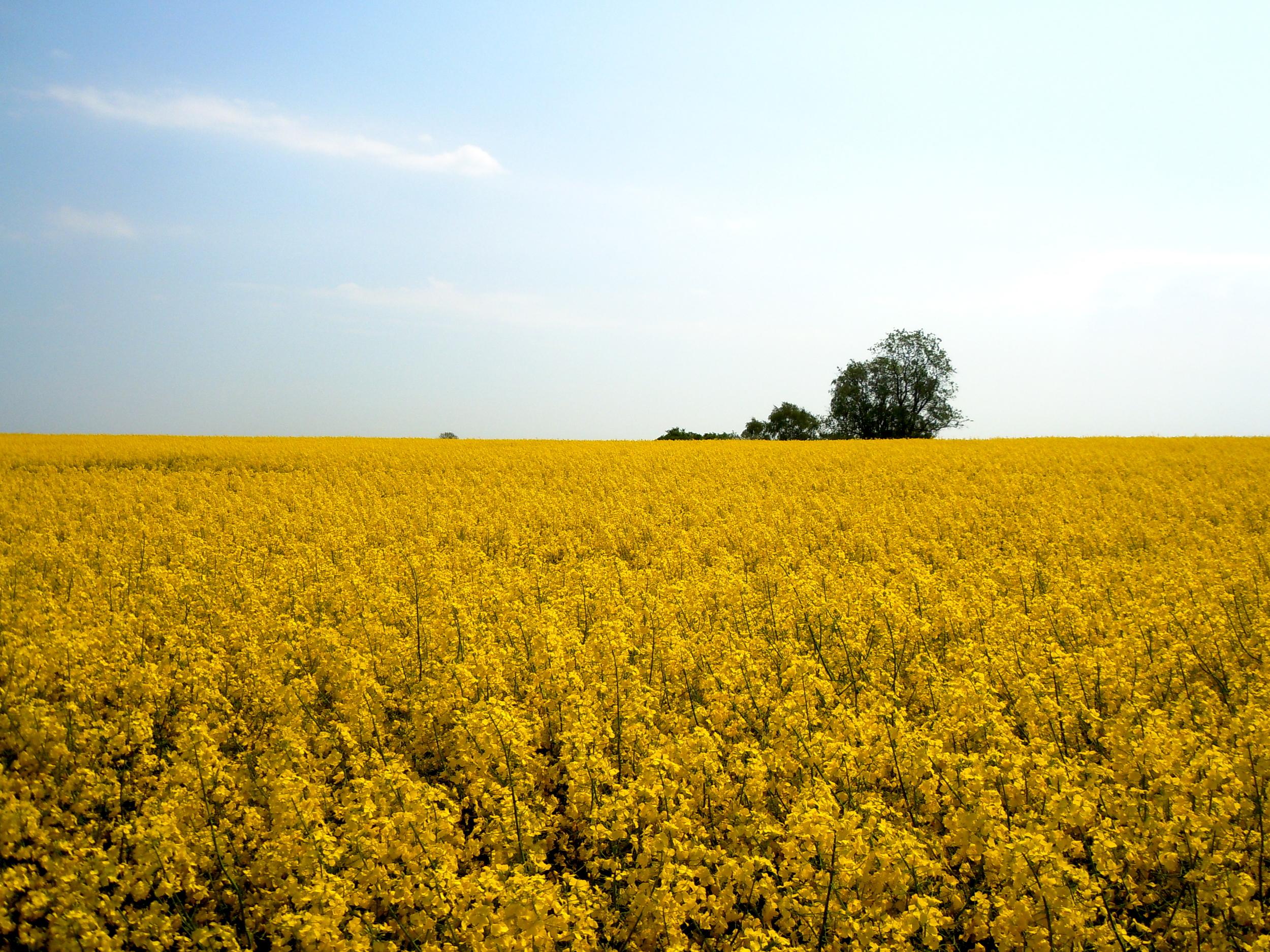 Rapeseed Field  near Sakskøbing, Denmark  5/2011