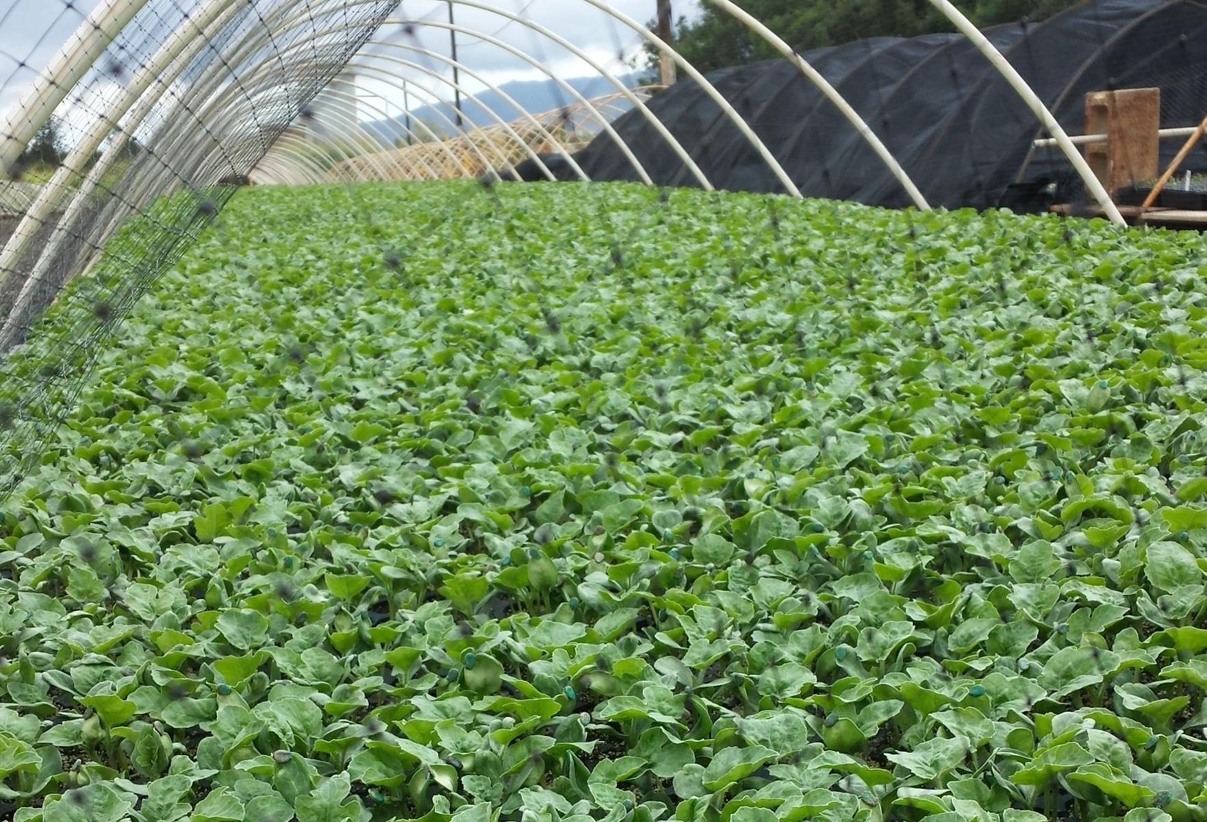 Watermelon Seedlings.jpg