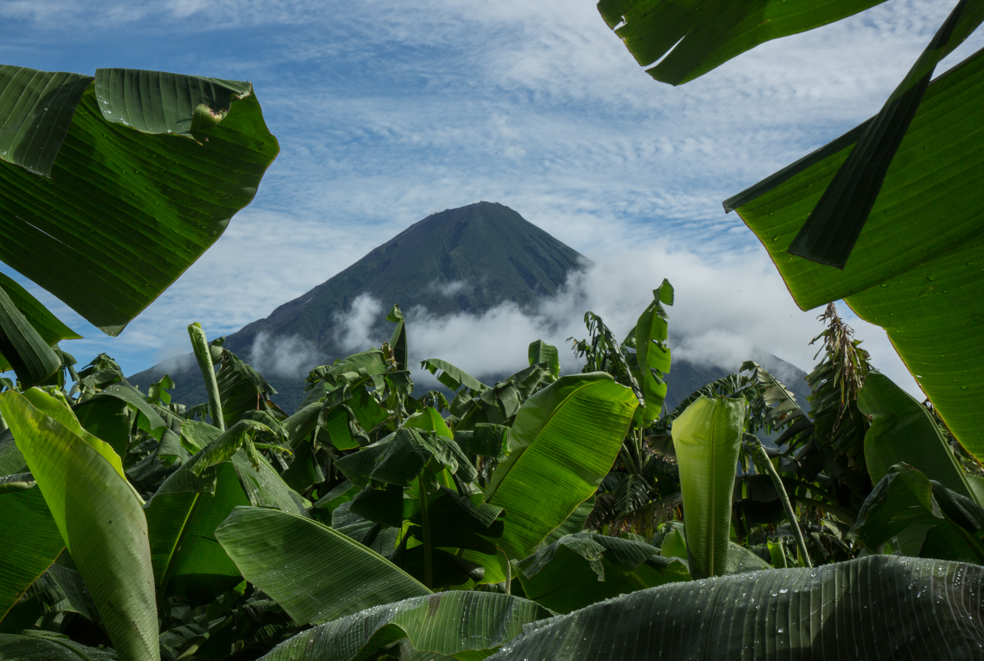 Concepcion Volcano, Ometepe, Nicaragua rises through plantain plantations. Ometepe's main export is plantains and exports to El Salvador and Honduras in addition to nationally.