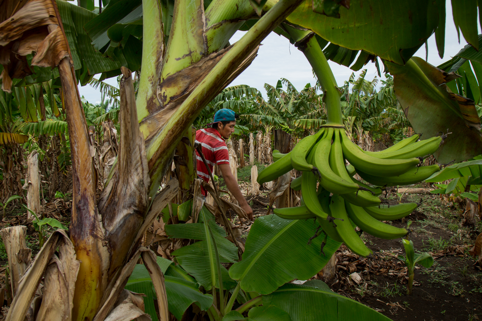 Workers at a plantain plantation, in Santa Teresa, Ometepe Their land is under threat to be confiscated by the governemnt if the Grand Canal project goes through