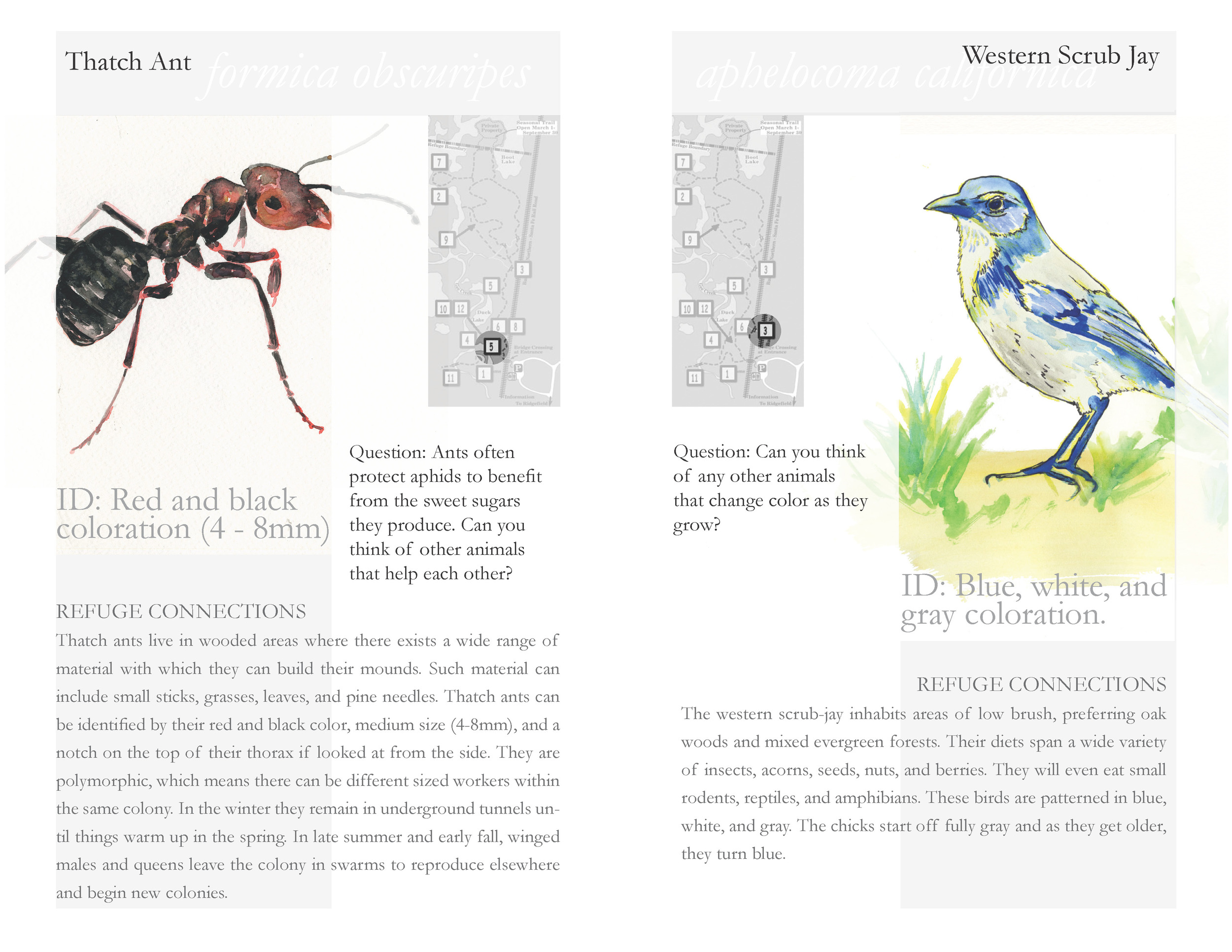 """""""Oaks to Wetlands Trail Guide Inside Spread"""" 2015 - 2016   11 x 8.5 inches   Watercolor and Graphic Design (written information provided by Friends and refuge staff)   Description: This is a trail guide in its first iteration designed for educators, students, and other stakeholders connected to the wildlife refuge."""
