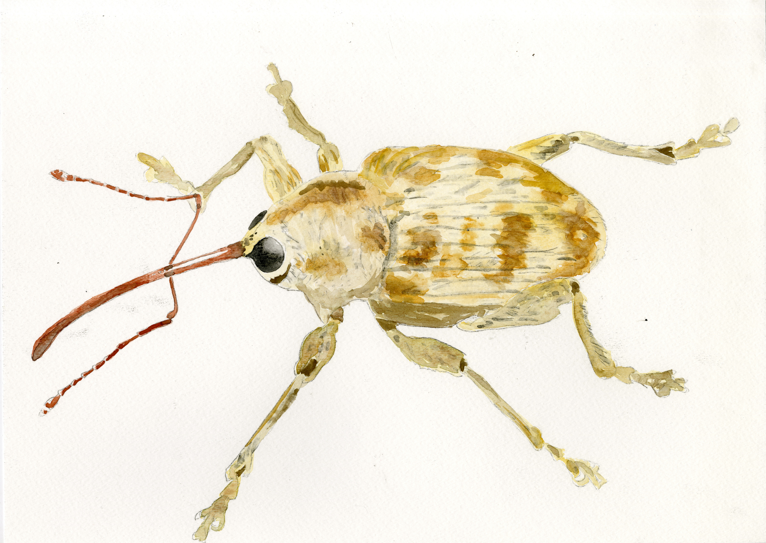 """""""Acorn Weevil  """" 2016   15 x 11 inches   Watercolor"""