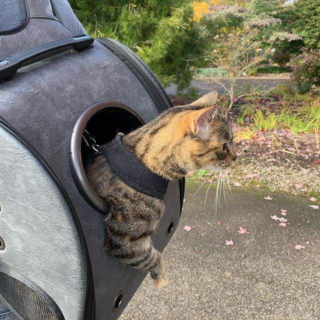 Just another day in the @oregongarden 🌱 🐯 . . . #realestatewithdevito #realestateagent #catsofinstagram  #catbackpack #walkabout #gardens #lovewhereyoulive