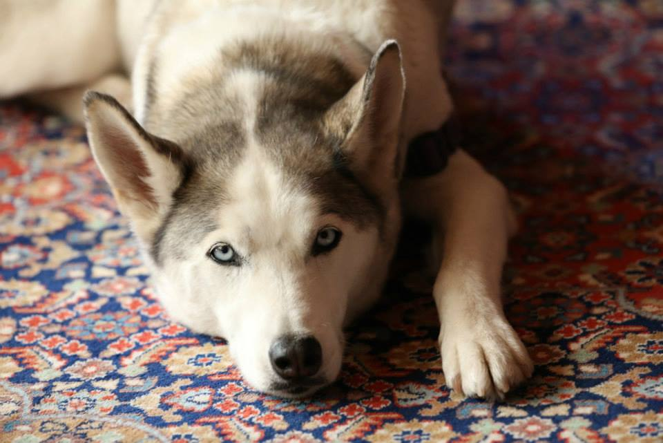beloved husky Leilani - who passed on 9/18/15