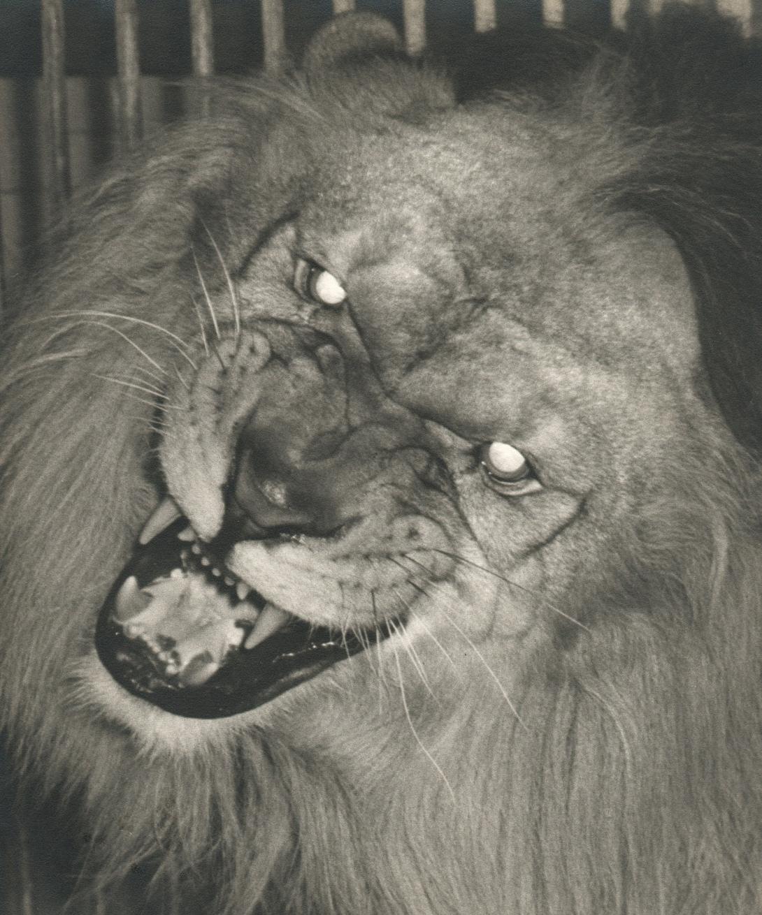 The Lion Roars.jpg