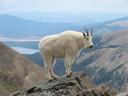 """ Mountain Goat Mount Massive "" by Darklich14. Licensed under CC BY 3.0 via Wikimedia Commons"