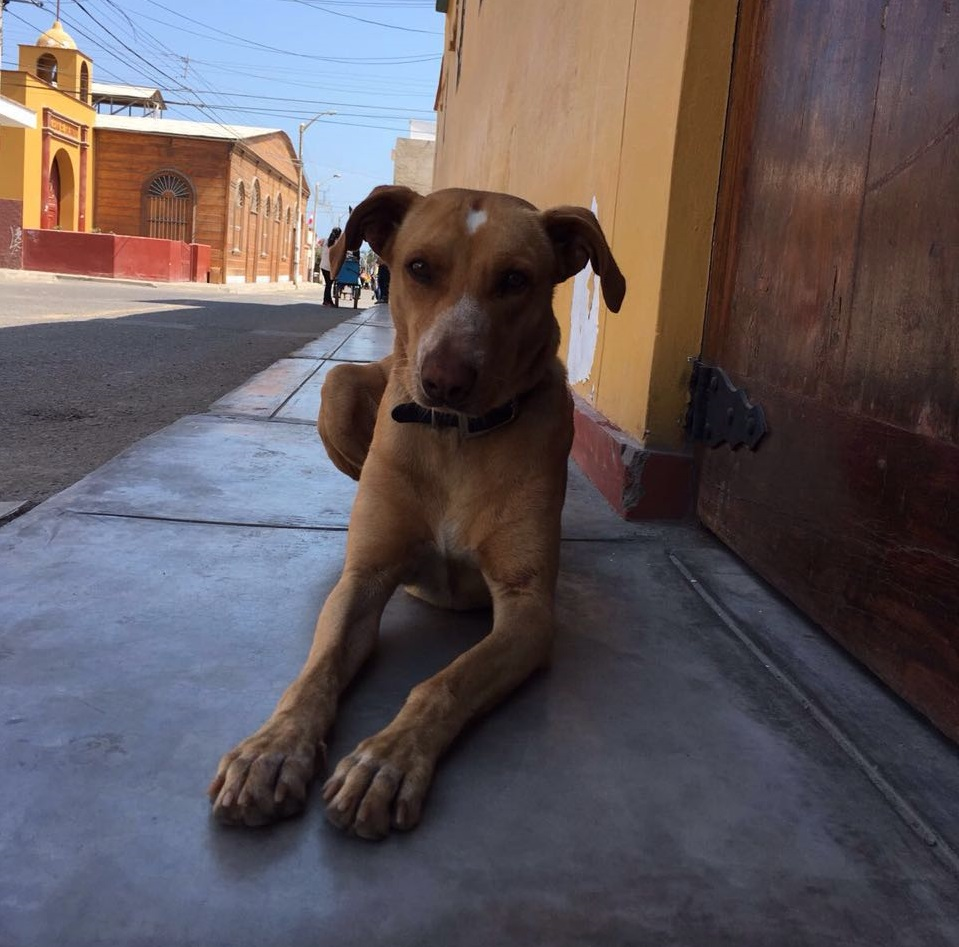 Vainilla  - PASEO Mascot  Vainilla is the PASEO mascot and has been since the program's inception in 2015. His research mainly focuses on the intersection between fried chicken and friendly gringos. He also enjoys sleeping.
