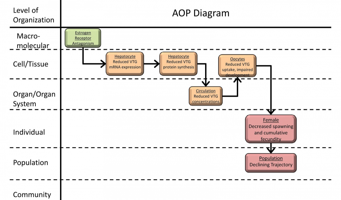 """Figure 2. An example of an AOP from the AOP-Wiki (""""Estrogen receptor antagonism leading to reproductive dysfunction""""). Reproduced from  https://aopkb.org/aopwiki/index.php/Aop:30 ."""