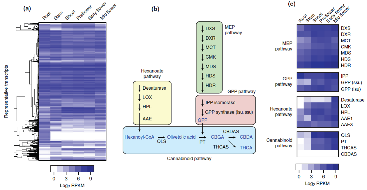 Gene expression analysis data and the cannabinoid biosynthesis pathway. Reproduced from van Bakel et al. (2011) in  Genome Biology .