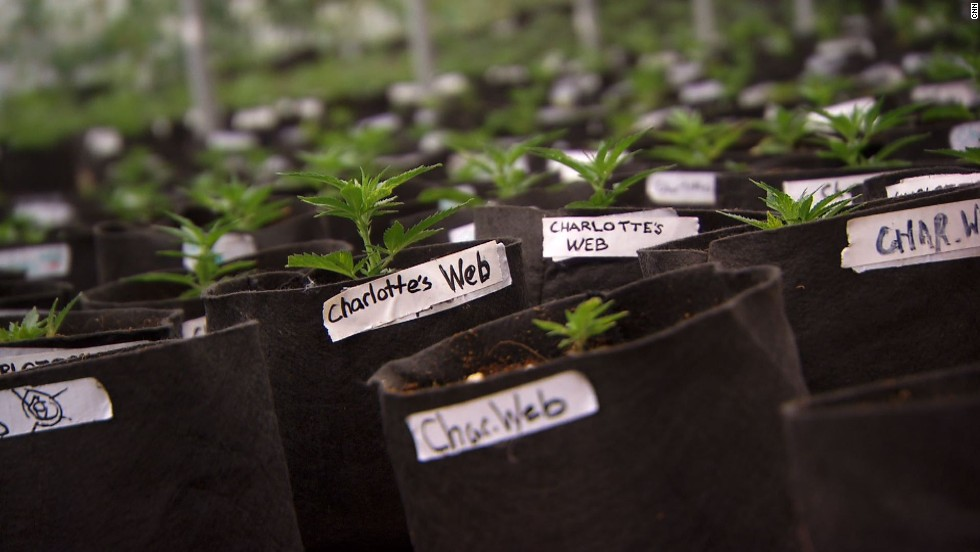 Charlotte's Web is a well-known low-THC, high-CBD strain of  Cannabis sativa .