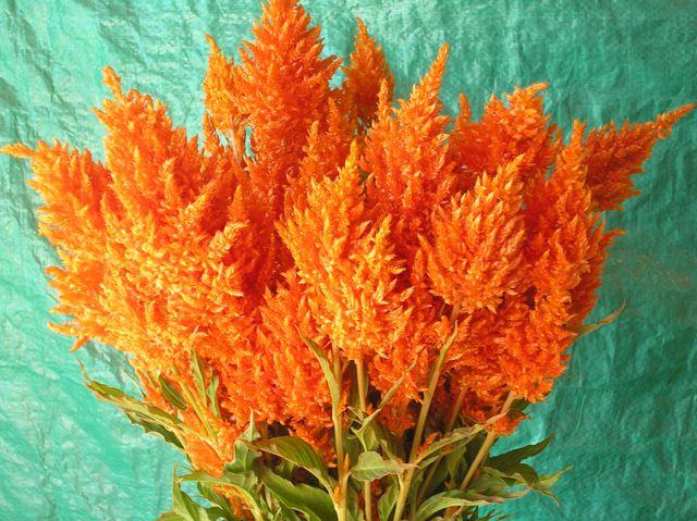 Sunday Orange Celosia