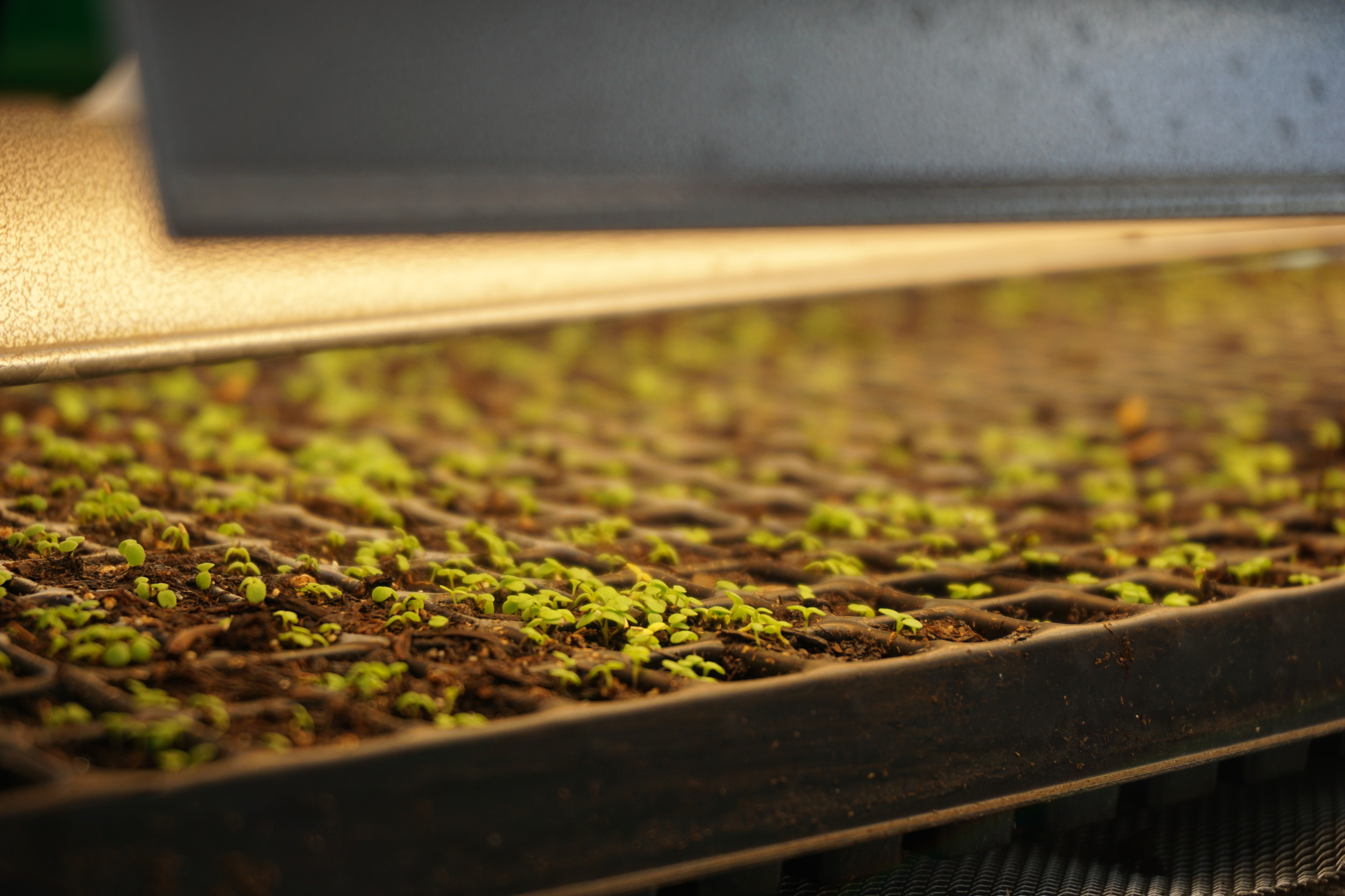 tansy germinated first! excited to give this one to CSA members. it's very cheery