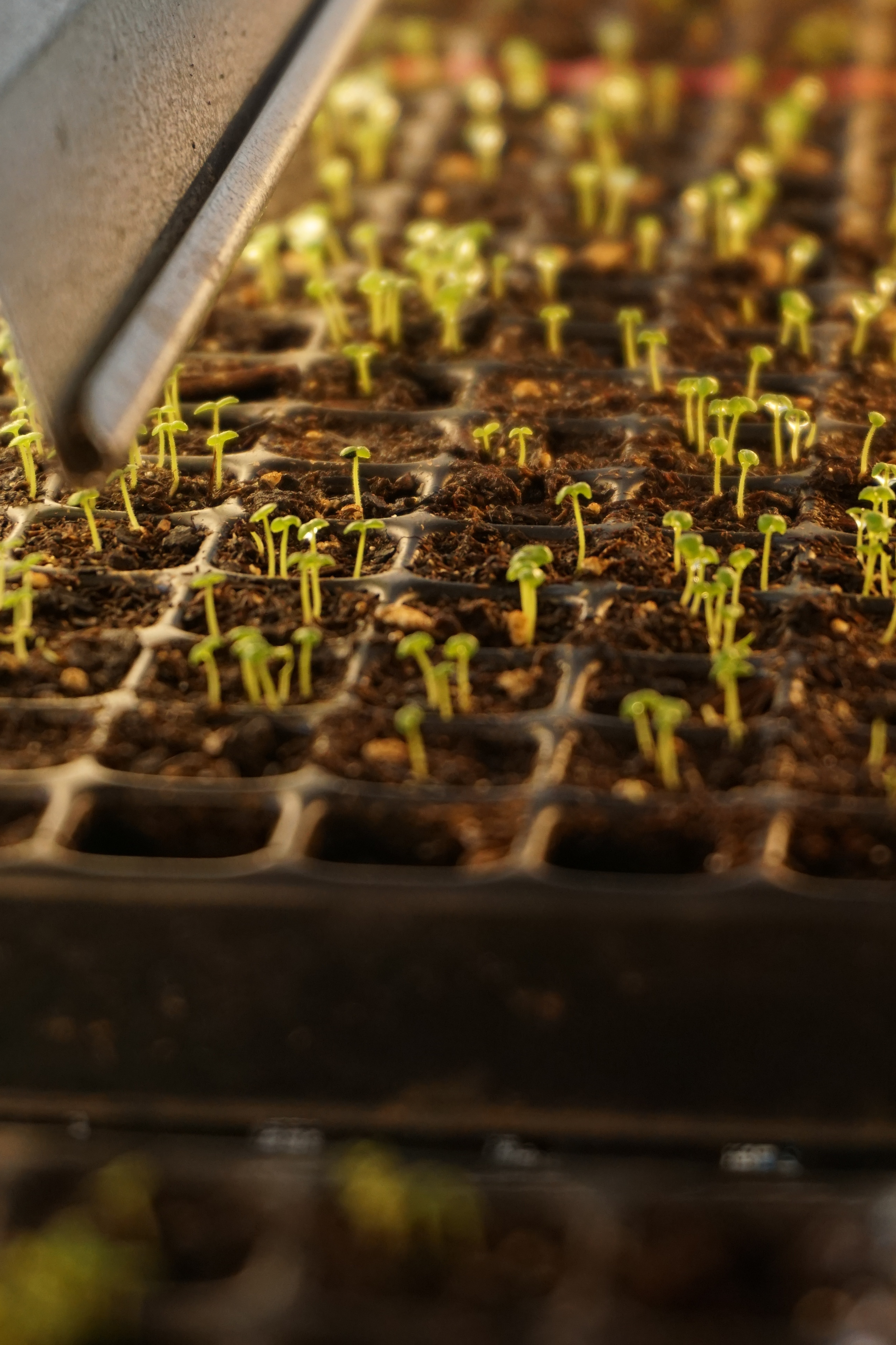 snapdragons will be some of the first flowers our CSA members get! their seedlings are so tiny