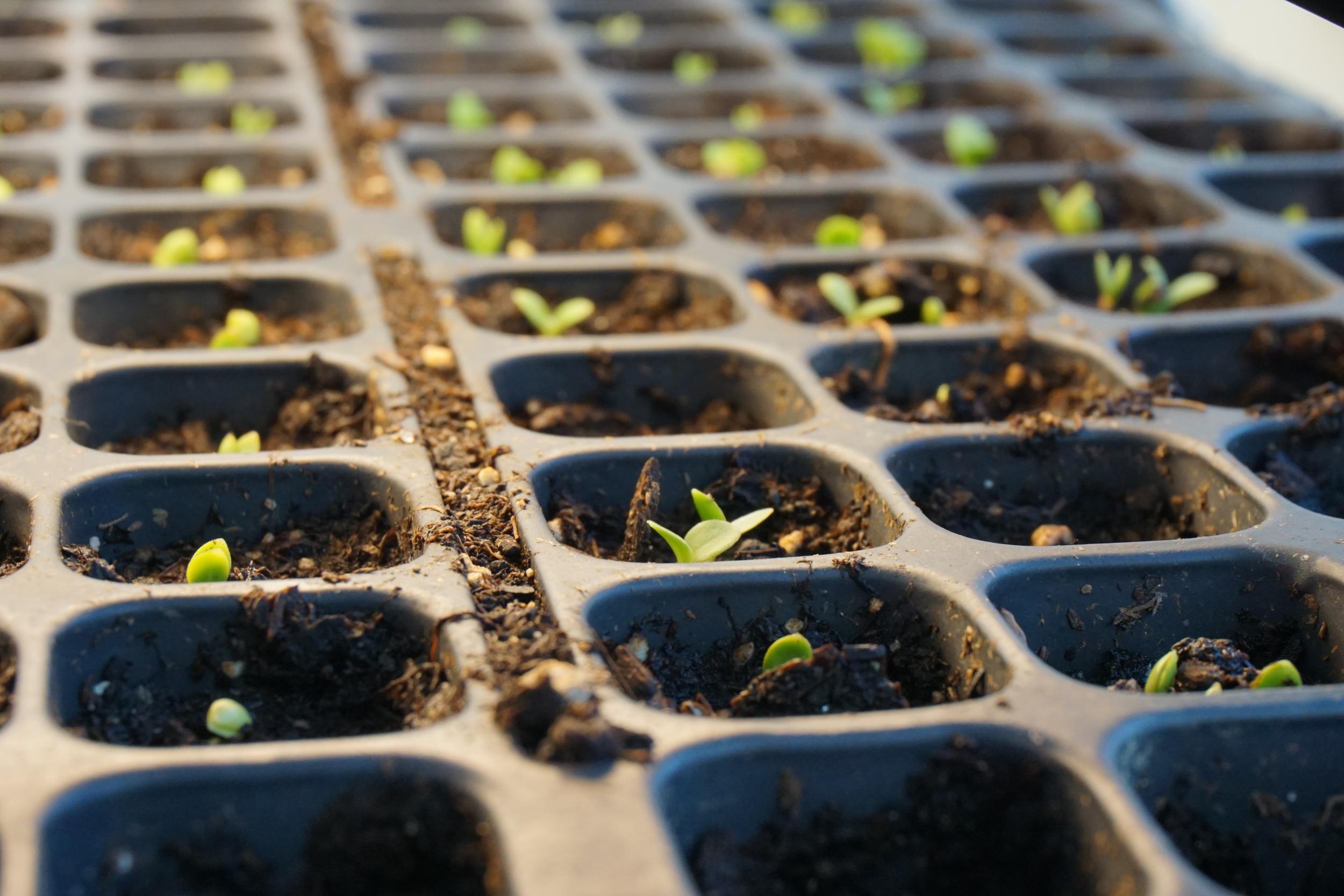forget me not seedlings germinating...