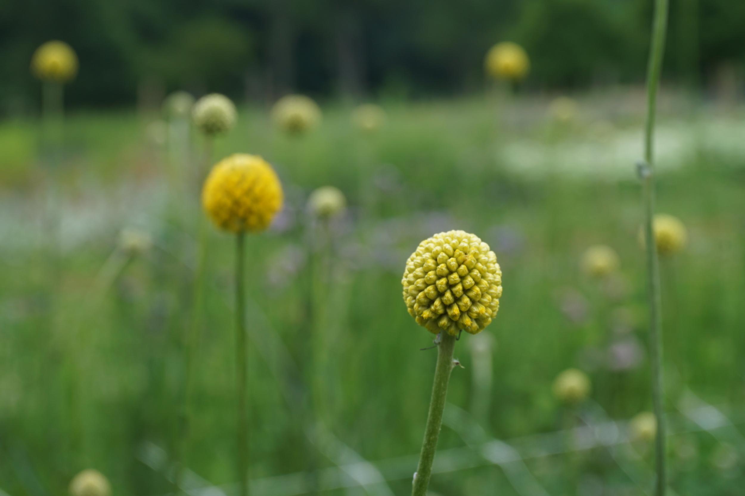 craspedia, or drumstick flower