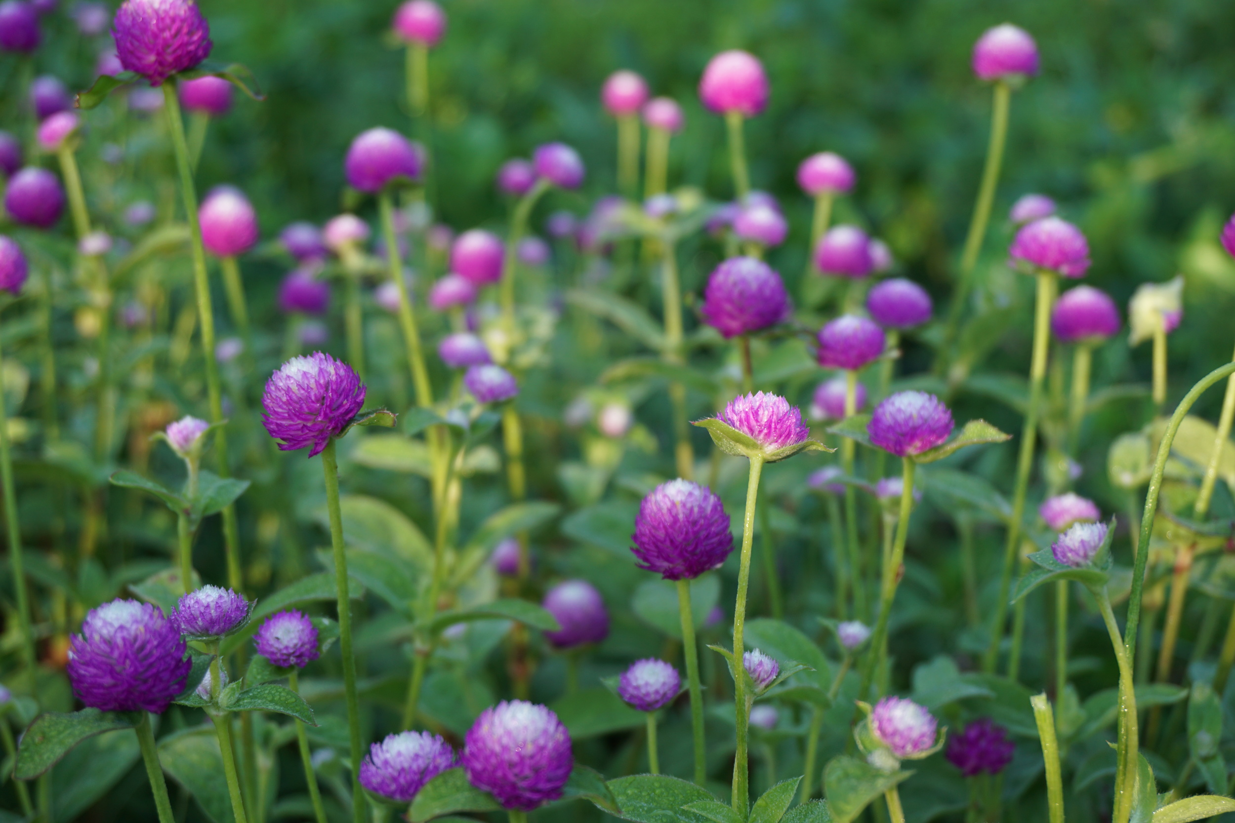 Gomphrena. The blooms make a lovely, relaxing herbal tea.