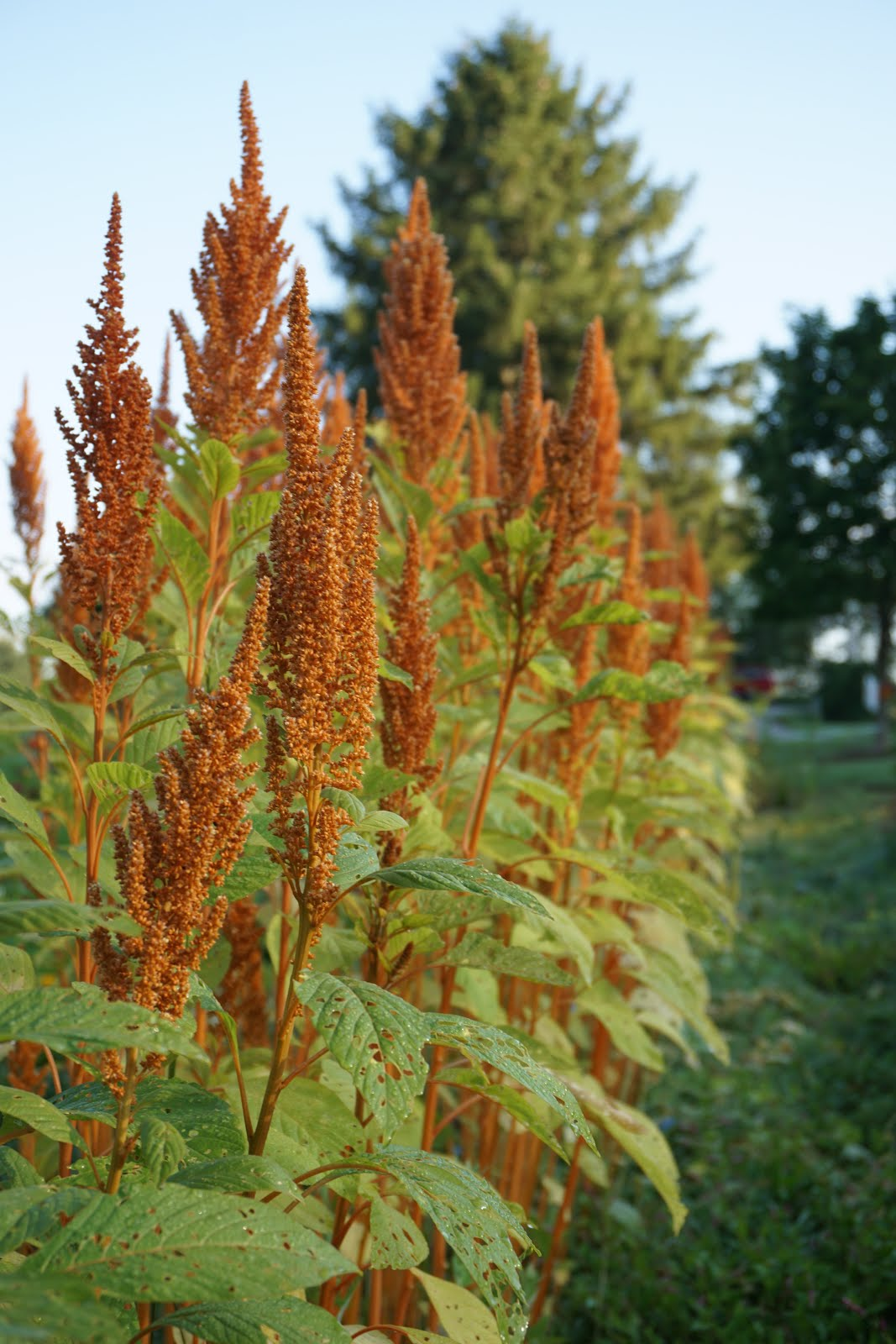 Bronze Amaranth