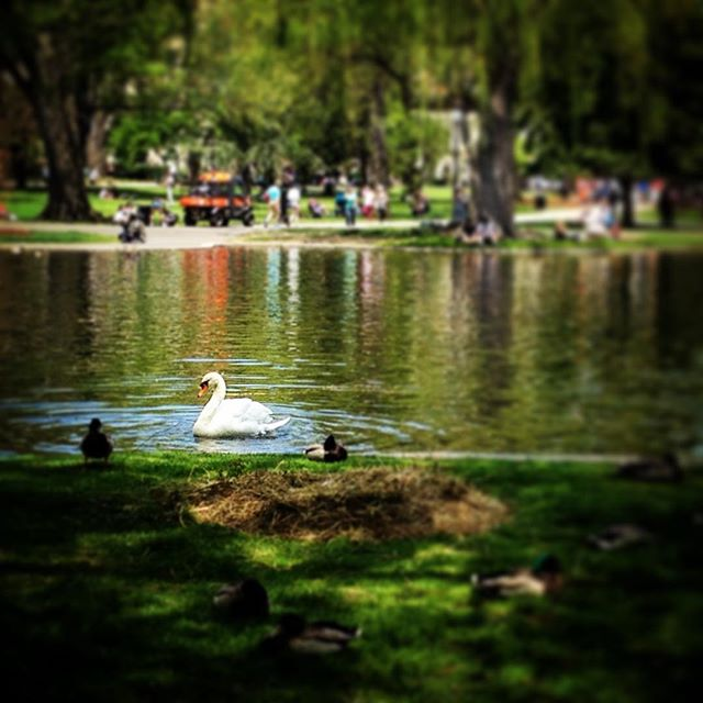 Pretty pretty swan with duck courtiers! #swan #nature #bostoncommon
