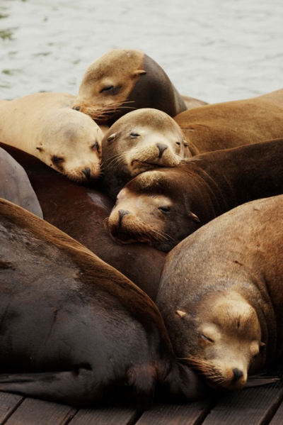 Pier 39 Sea Lions <3