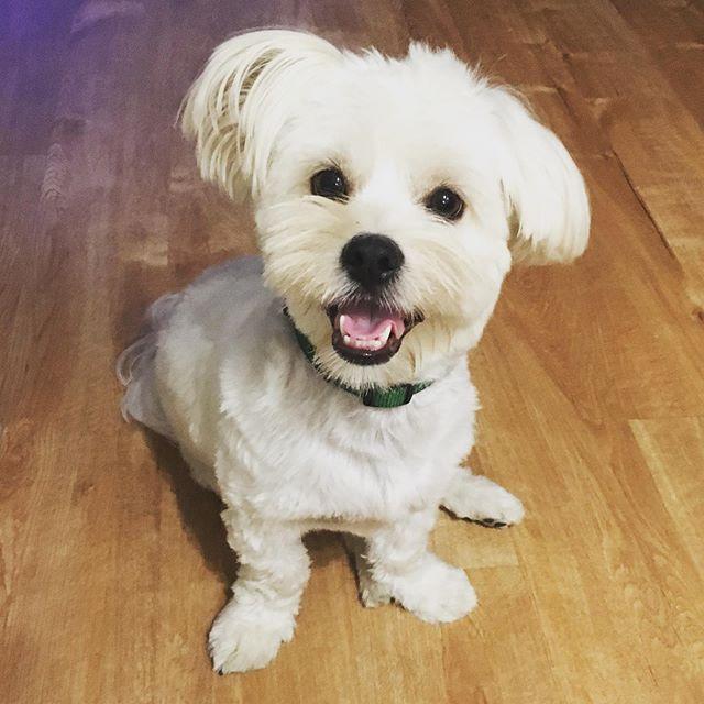 Prince Ollie fabulous he aliababuah. #maltese #shihtzu #puppy #dog #perro #happybirthday #smiley #bestfriend #goodboy #green #browneyedboy #underbitehero #curlytail #happyboy #mamasboy