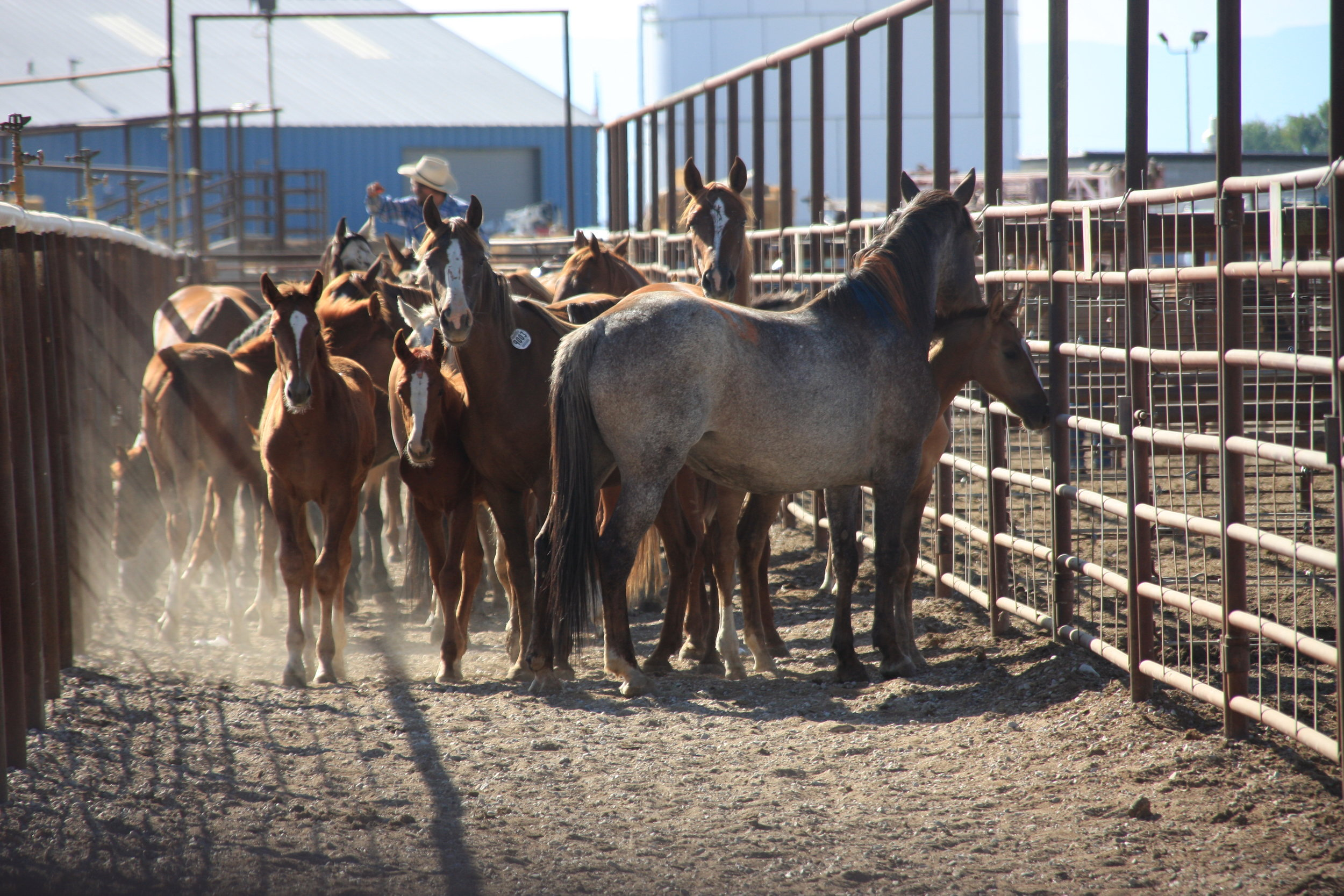 McDermitt Horses trapped @ Rodeo grounds.jpg