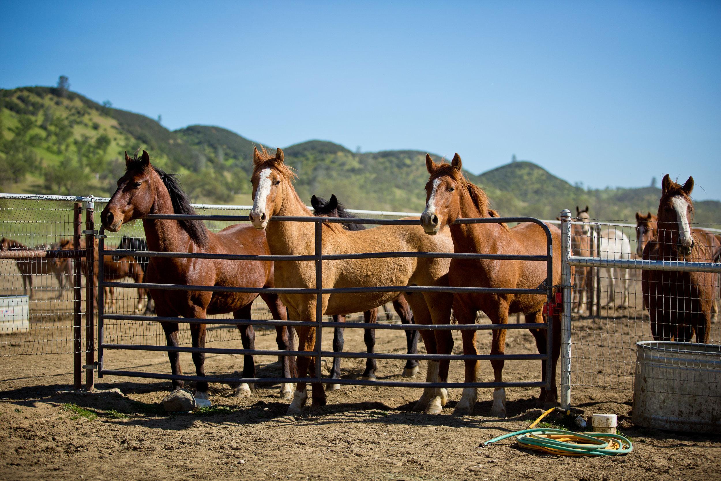 Photo of horses awaiting the chute, by Tara Arrowood