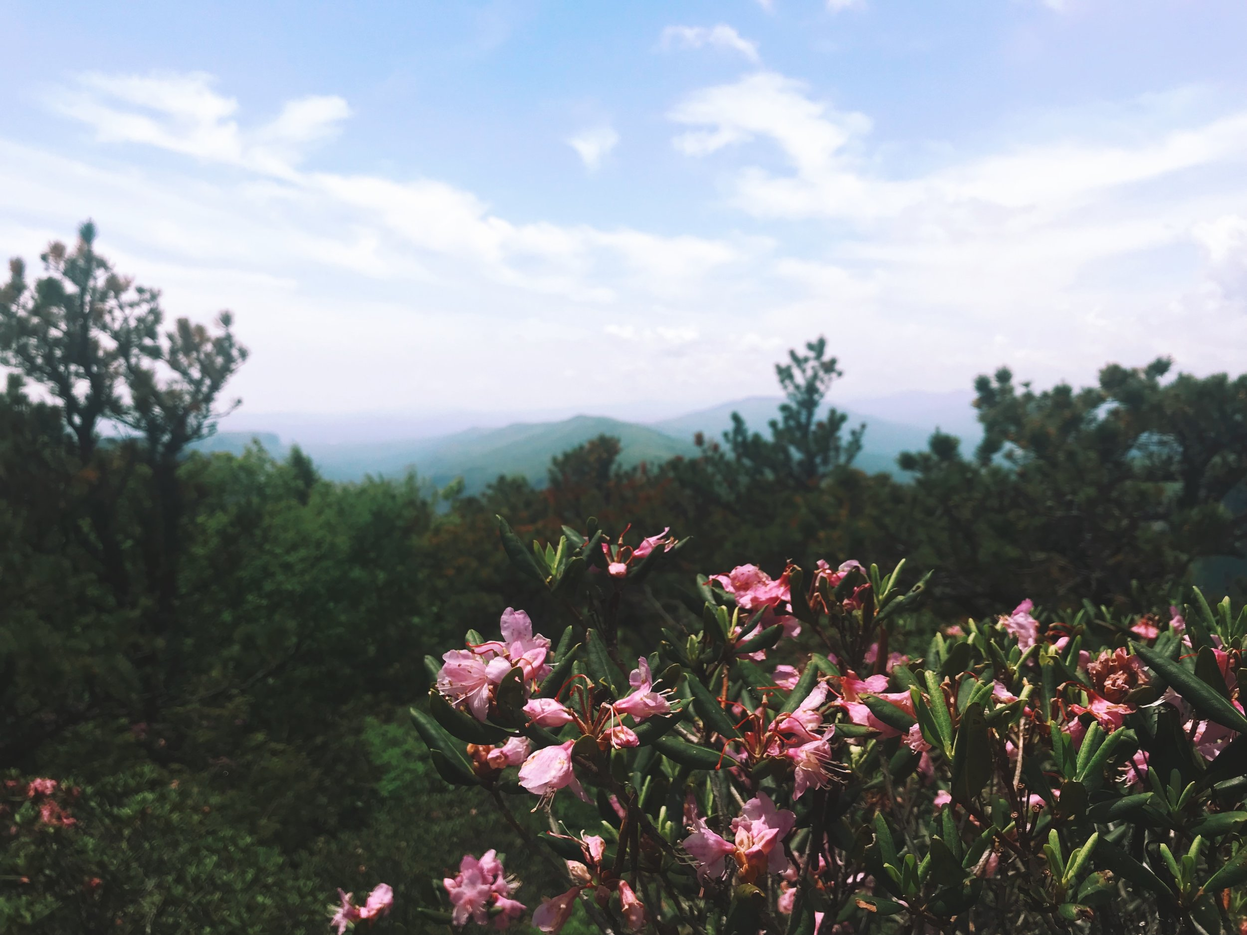 The colors of the rhododendron against the blue ridges GETS ME EVERYTIME