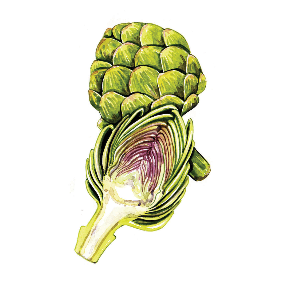 watercolour food illustrations artichoke