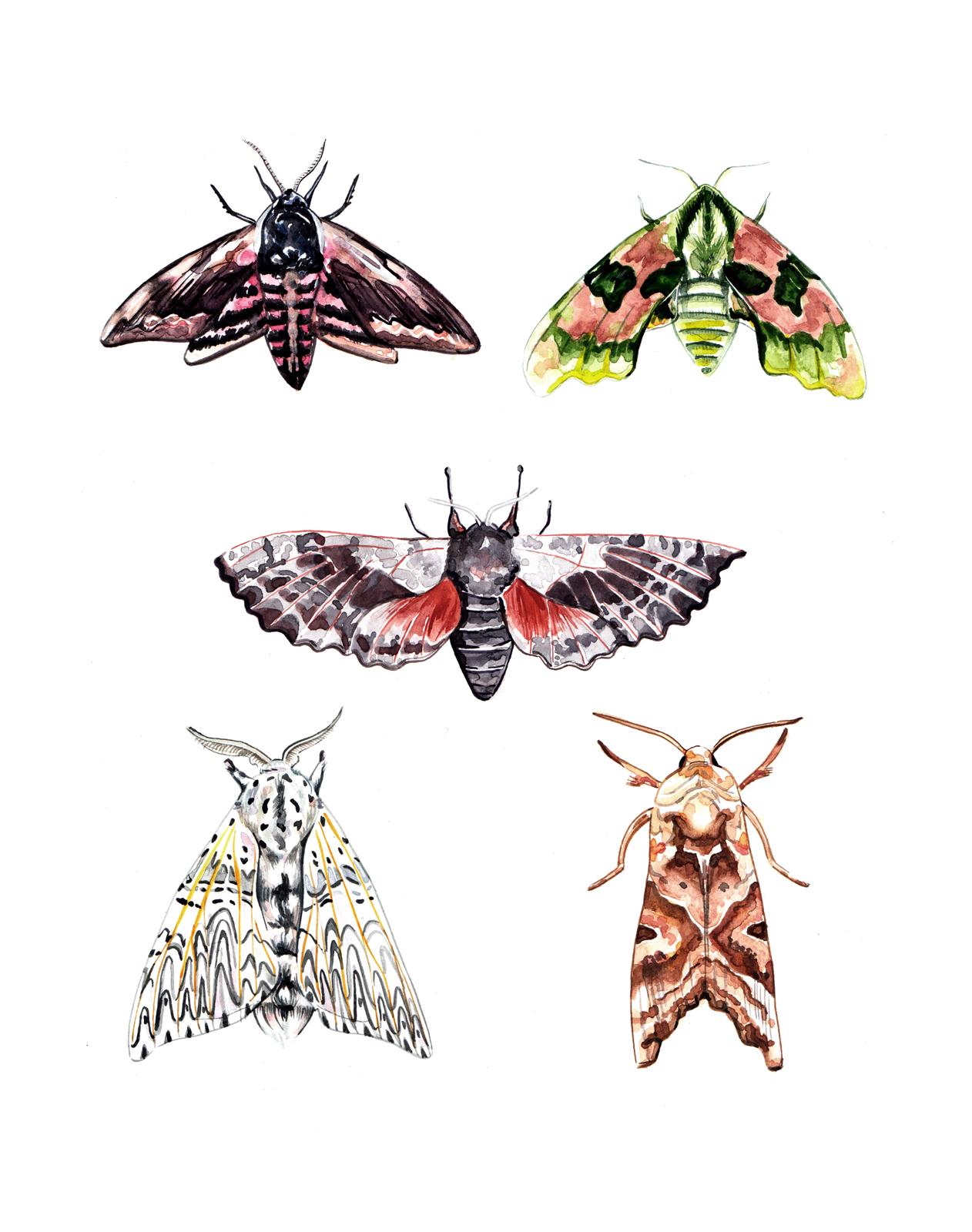Moth illustration watercolour
