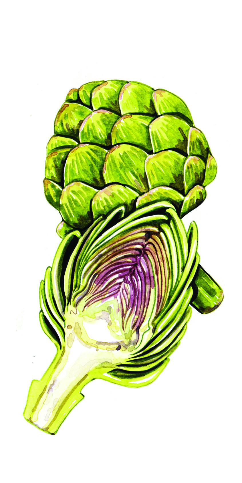 artichoke food illustration watercolour