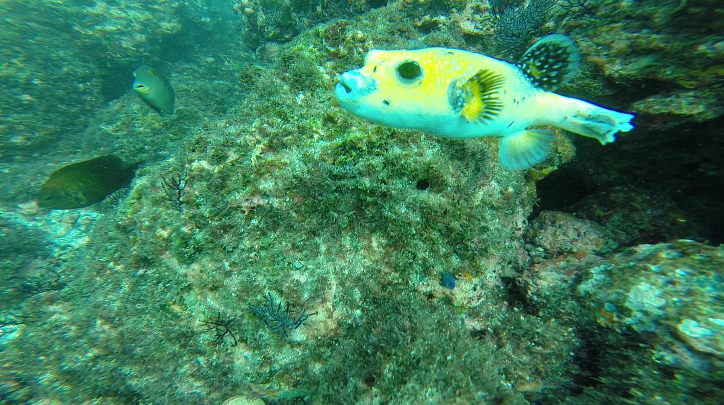 yellow-puffer-fish-snorkeling.jpg