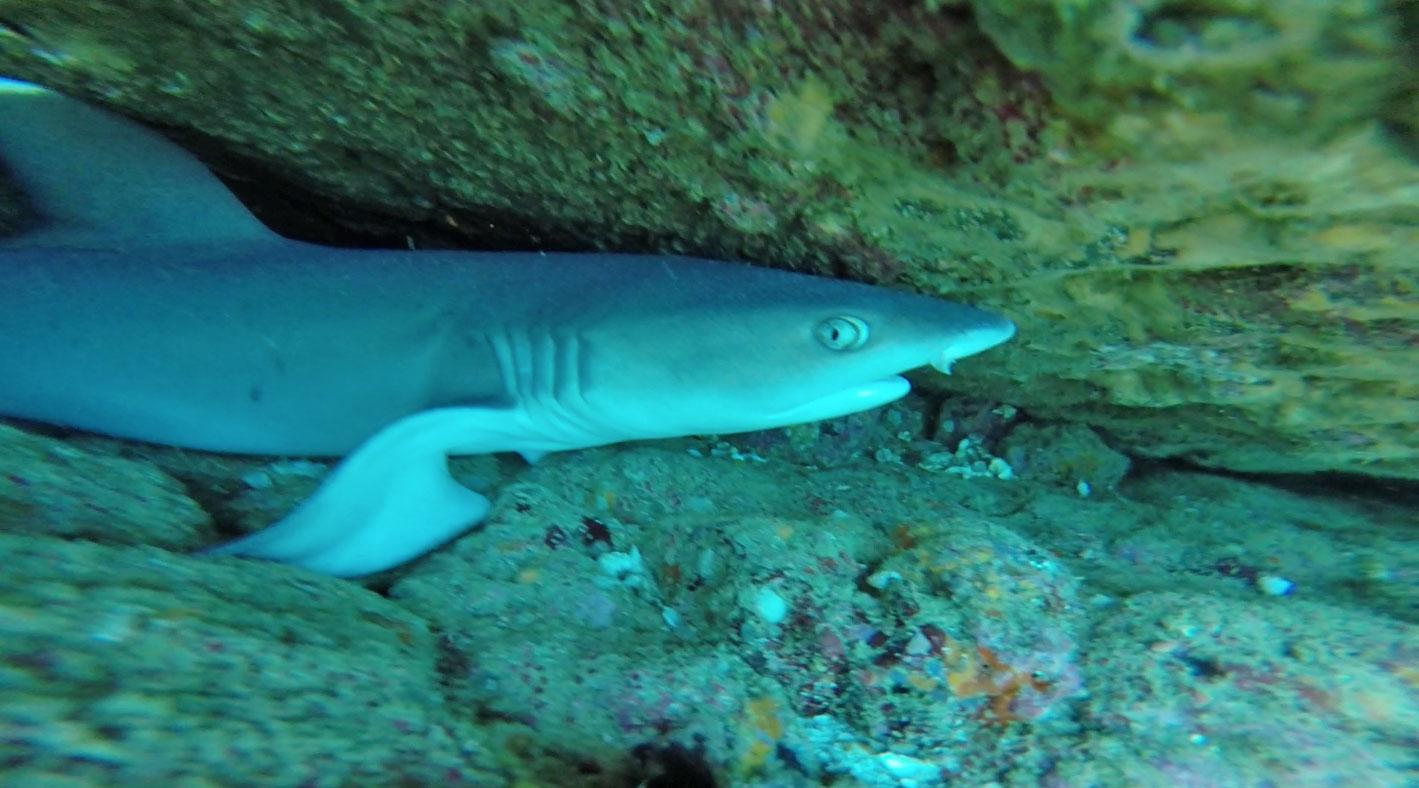 mal-pais-reef-shark.jpg