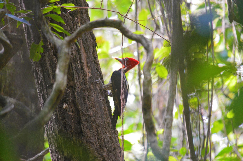 cabo-blanco-costa-rica-woodpecker.jpg