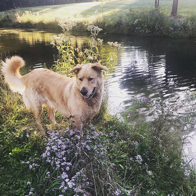 Looking for frogs to boop. #countrylife #boopmynose #dogsofinstagram