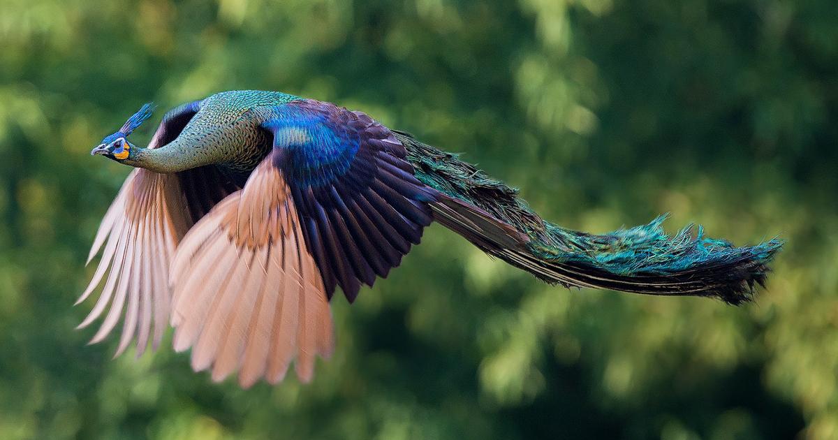 flying-peacock-fb1.jpg