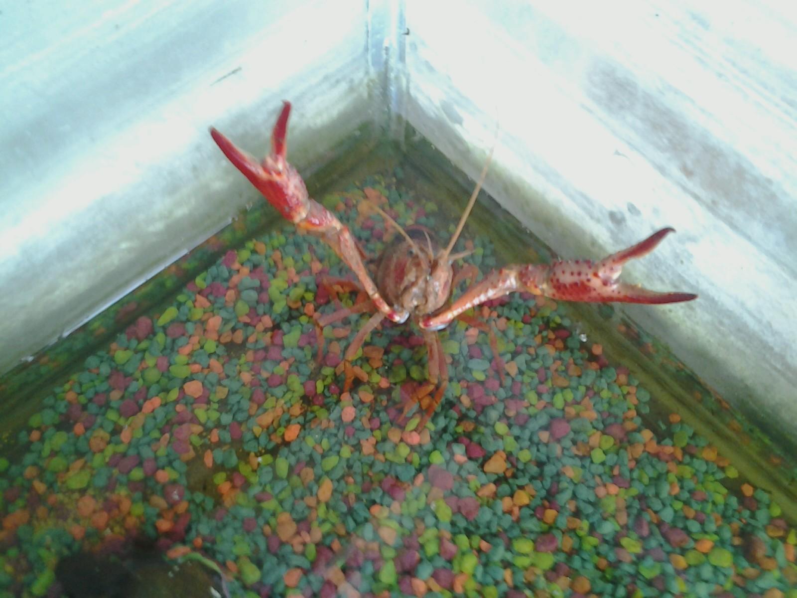 Giant Crayfish (35).jpg