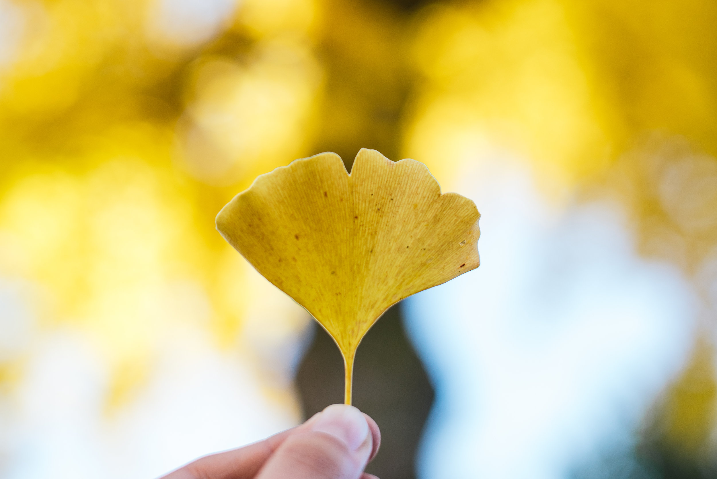 DAY 4 - I am thankful for the beautiful weather we have had so far this month. For the chance it has afforded us to spend extra time outside. For the prolonged season of spectacular fall colors and the way the glorious sunshine illuminated this ginkgo tree today.