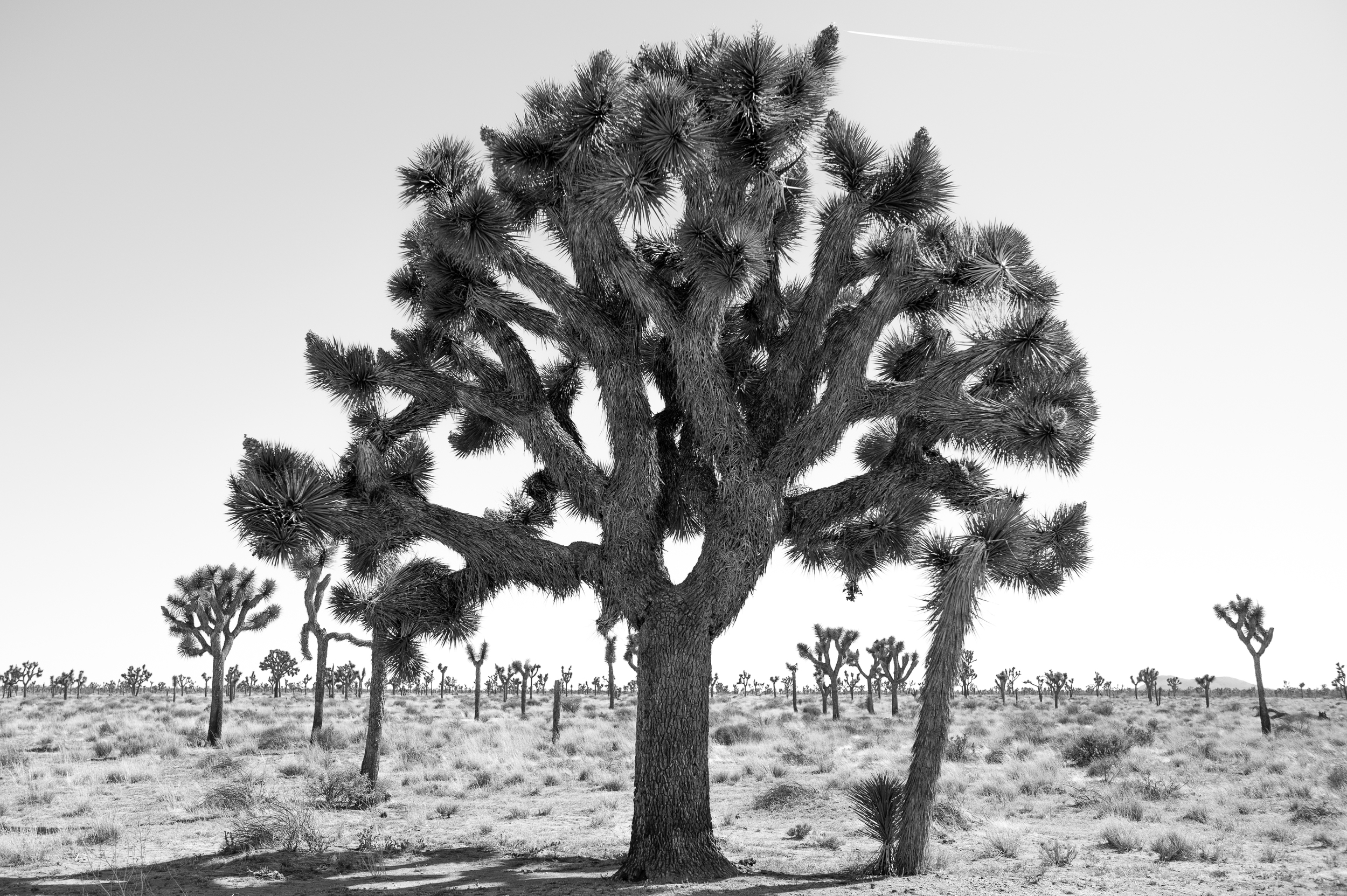// JOSHUA TREE - March 28, 2016