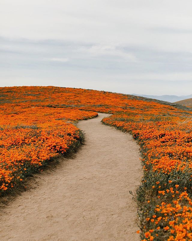 Poppy super bloom 🔸🙃 This was an absolute dream to experience. #poppysuperbloom #antelopevalleypoppyreserve