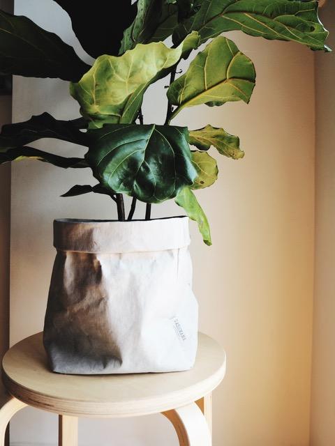 My Fiddle Leaf Fig in a Uashmama paper bag (pre-sunburn incident)