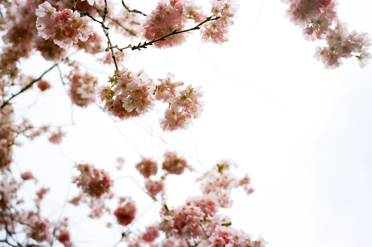 cherry blossoms in london by Erica Knecht, kuala lumpur based photographer