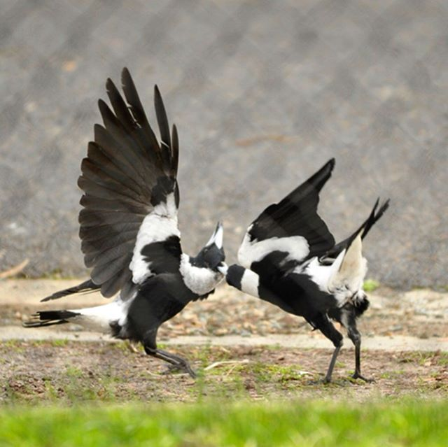 Two black-backed (males) magpies battle it out. (Gymnorhhina Tibicen) #australianmagpie #magpie #nikon #nikond700 #d700 #australianbirds #birds #nofilter
