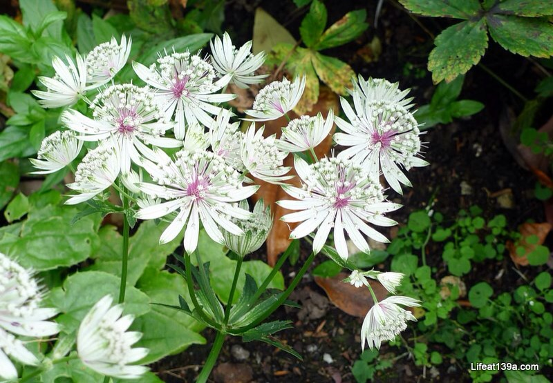 Beautifully delicate, an Astrantia not a hardy geranium - thanks @pknewhaven!