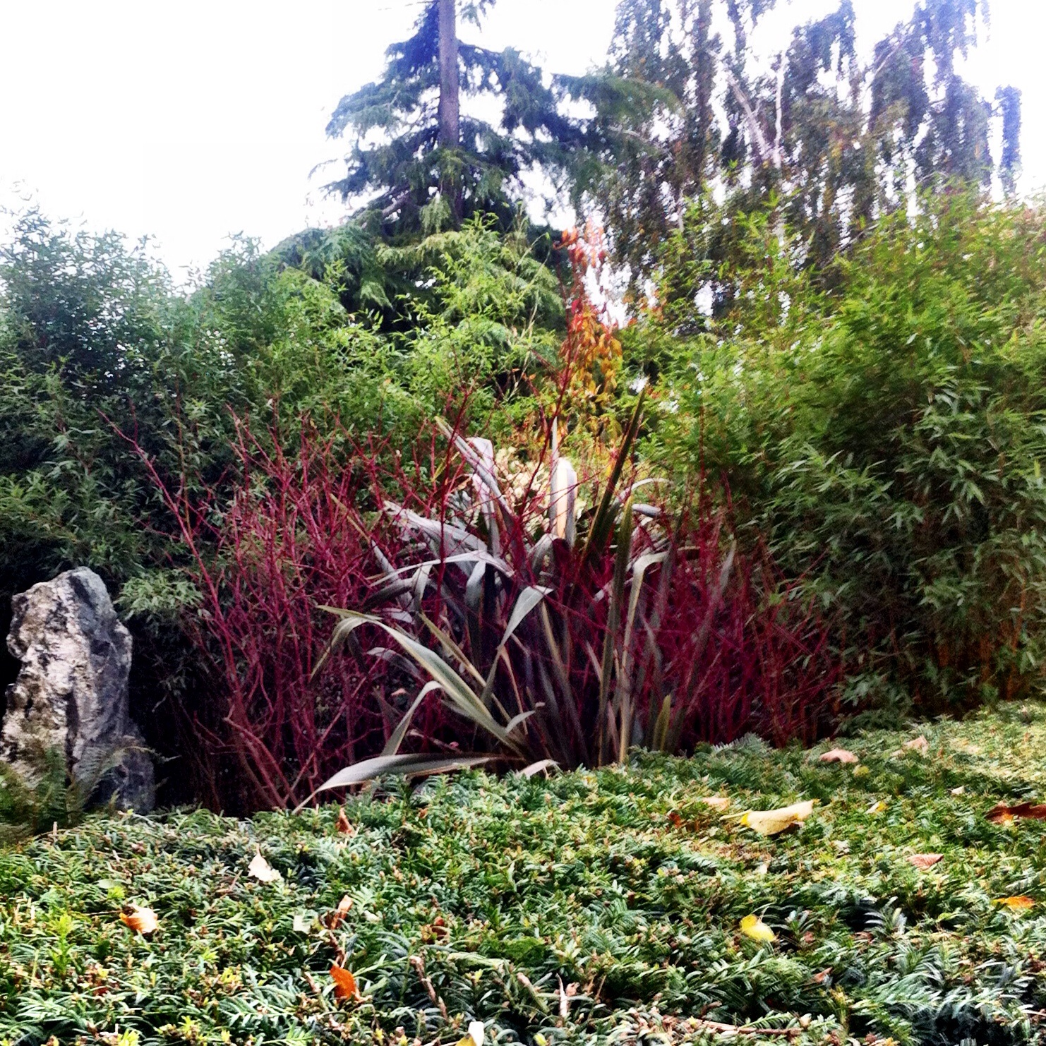 A burst of red over the Yew hedge