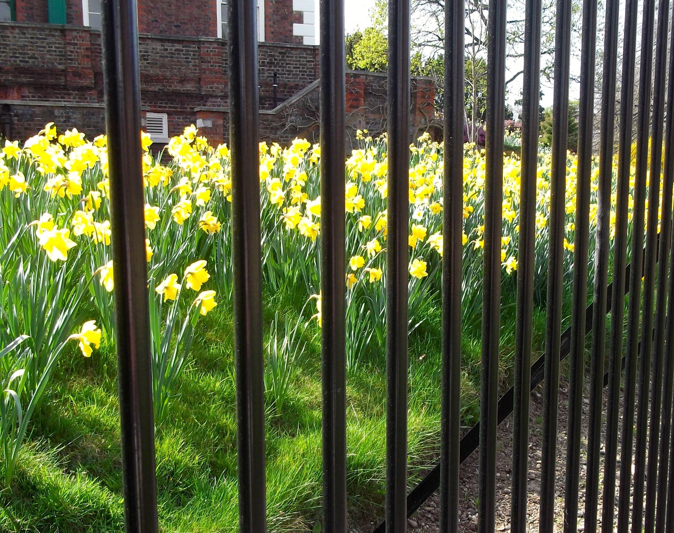 CAGED DAFFODILS