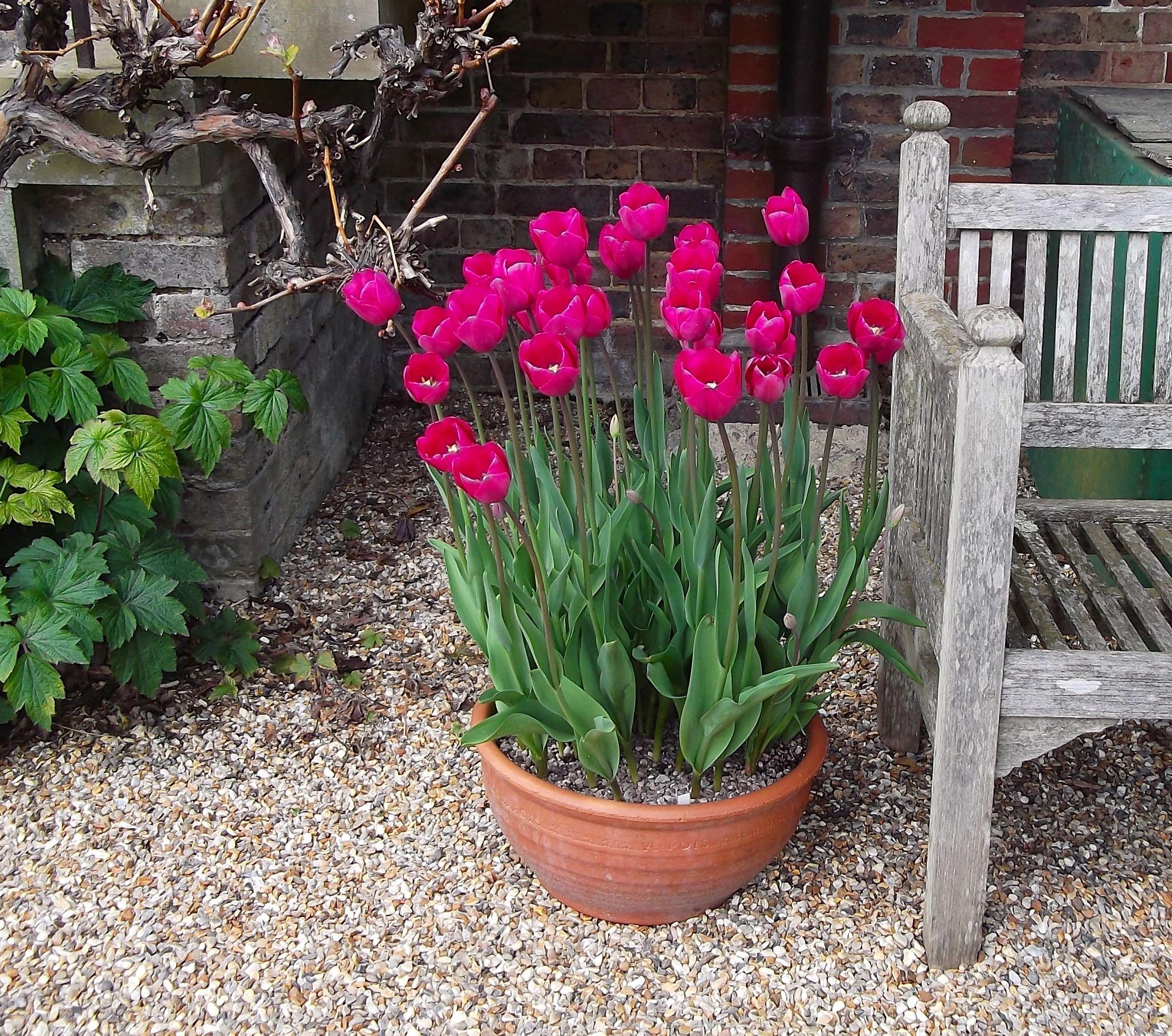 standen_tulips_bench.jpg